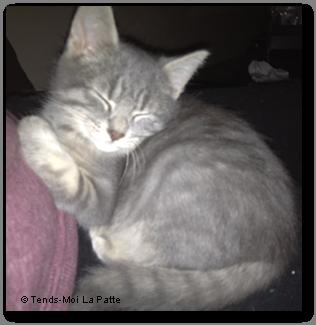 MAC Rebaptisé TIGROU, chaton gris de 2 mois et demi  Mac---co--01-2eb6751